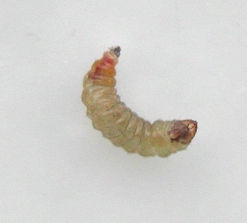 E.heringellalarv