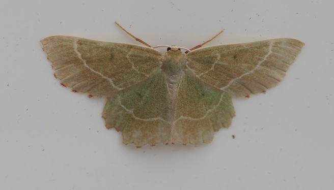 Sussex Emerald