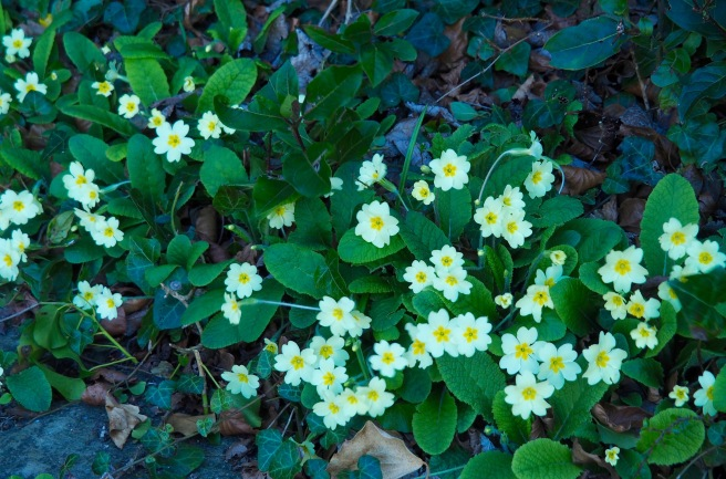 A primrose patch