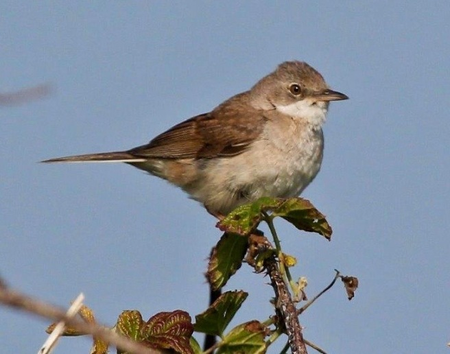 Common Whitethroat male (1)