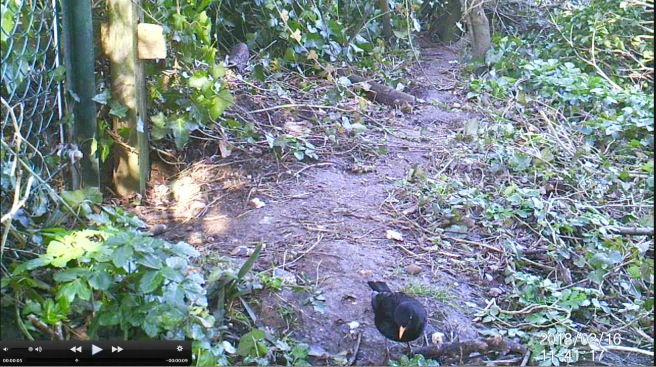 Blackbird (1)