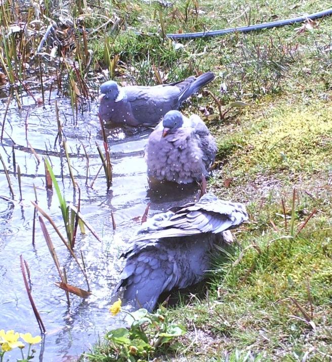 Pigeonbath