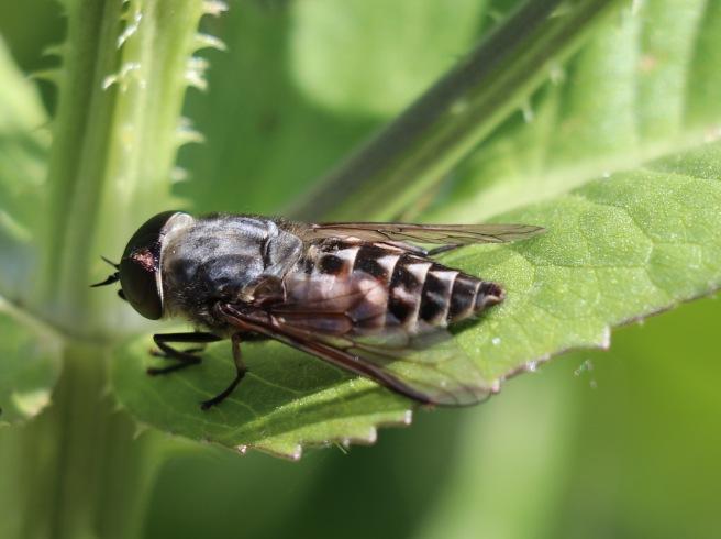Large Marsh Horsefly