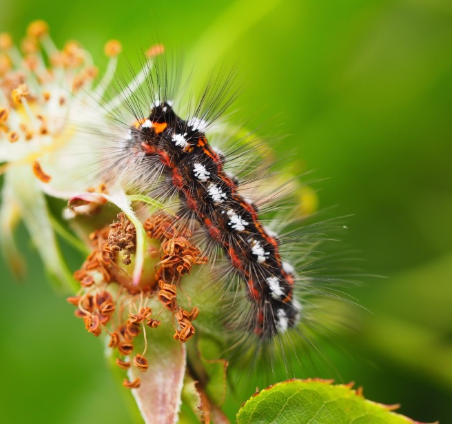Yellow Tail moth caterpillar