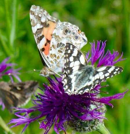 Painted Lady and Marbled White (1)