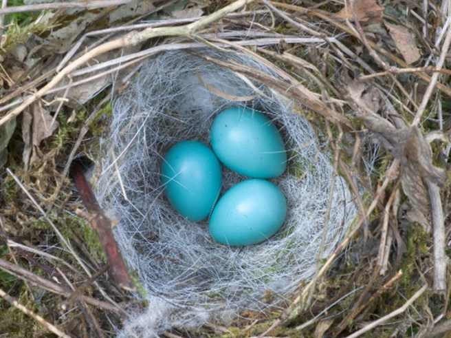 dunnock-hedge-sparrow-eggs-nature-picutre-library-alamy