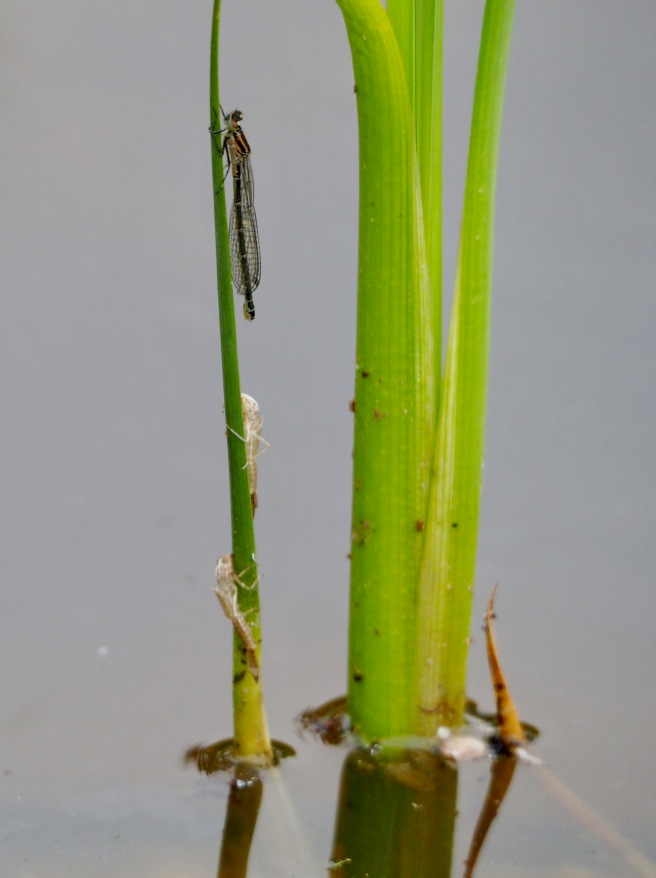 azure Damselfly - just hatched