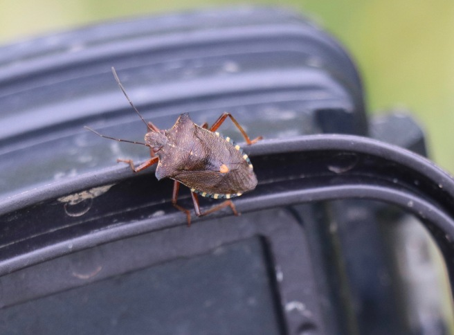 Red-legged Shieldbug. Pentatoma rufipes.