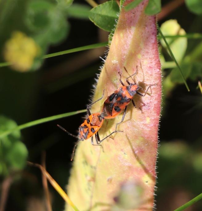 Corizus hyoscyami - mating pair.