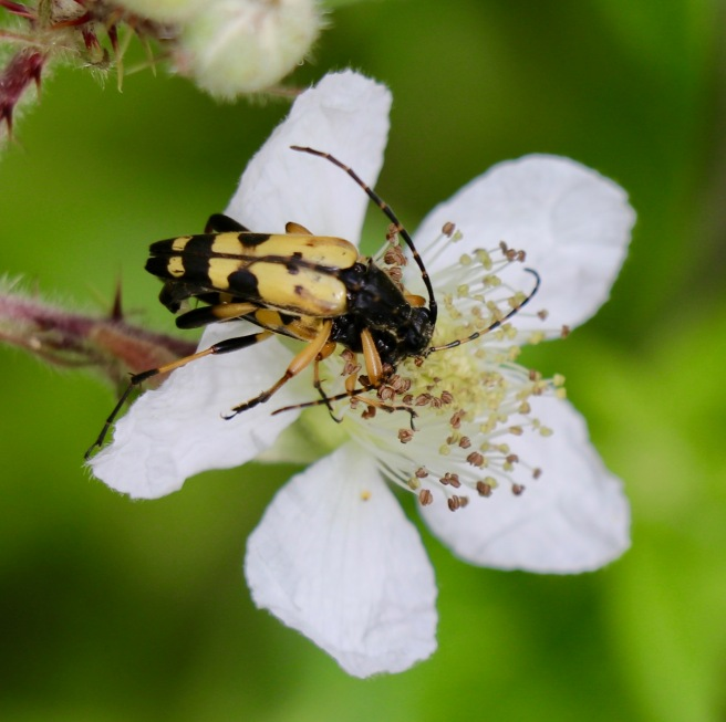 Black-and-yellow Longhorn Beetle. Rutpela maculata.
