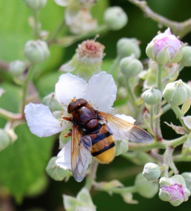 Volucella zonaria. Hornet Hoverfly.