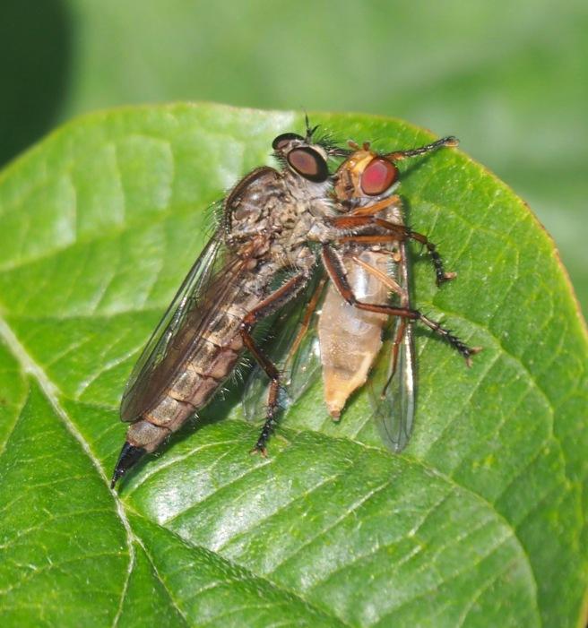 Kite-tailed Robberfly Machimus atricapillus