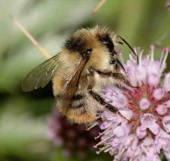 Shrill-Carder-Bee-Bombus-sylvarum-1-c-MJ-Clark