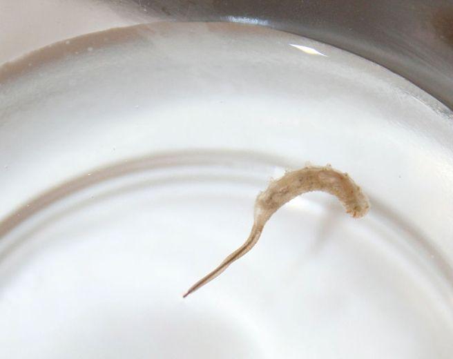 800px-Rattail-maggot