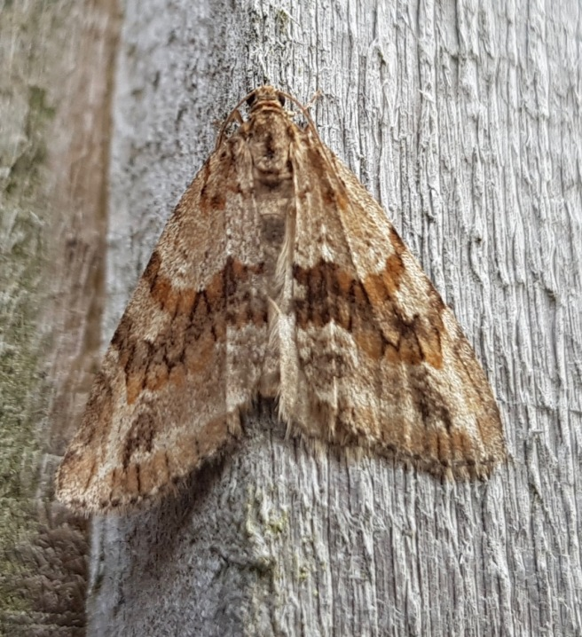 Barred Tooth-striped 2