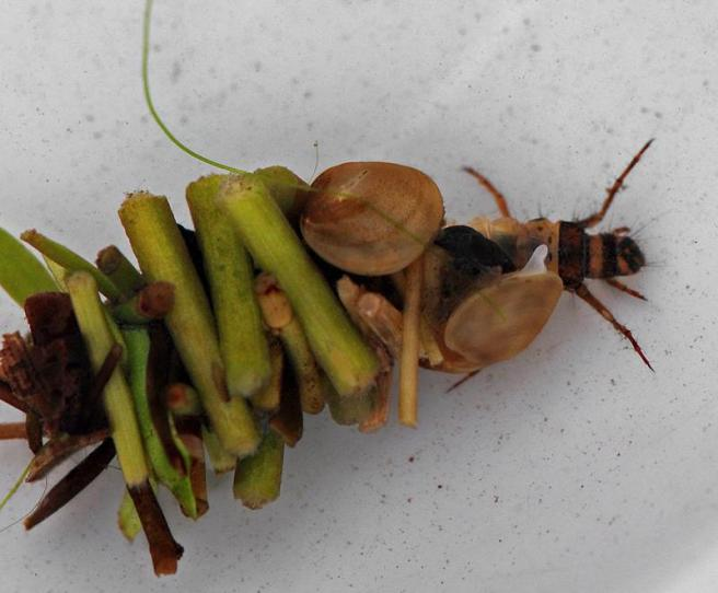 caddisfly-larva