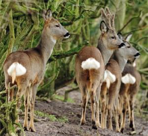 deer-2-300x275
