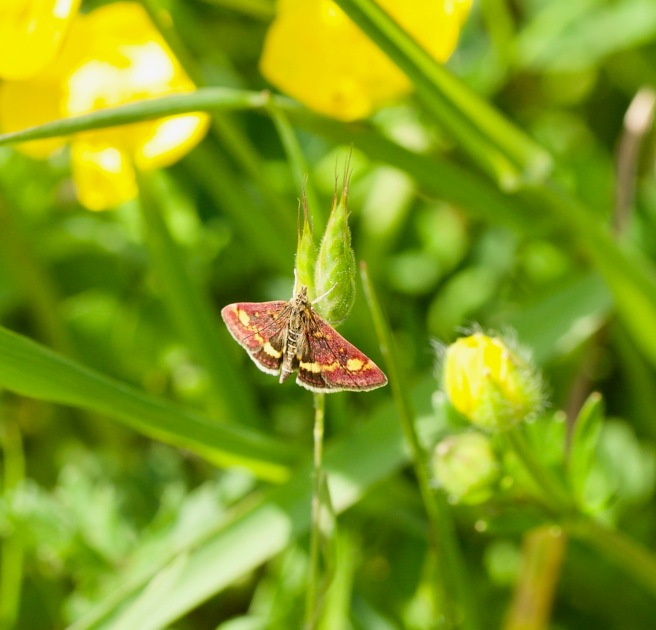 Common Purple and Gold Moth