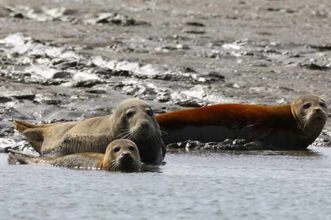 Grey and common seal