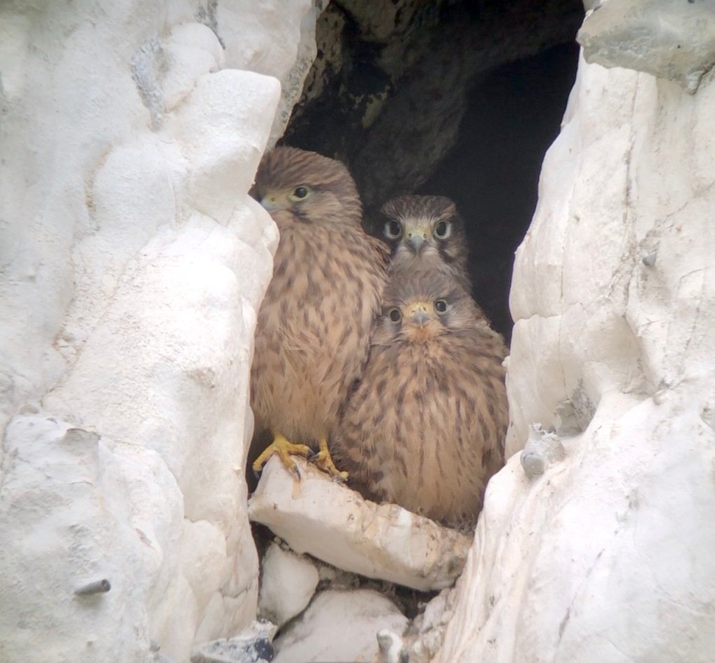 The second Kestrel nest in July